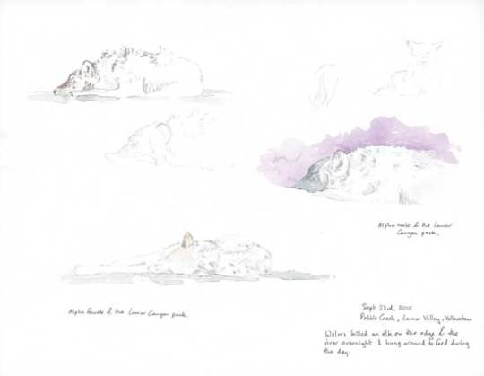 Wolves Field sketch, Yellowstone National Park by Alison Nicholls