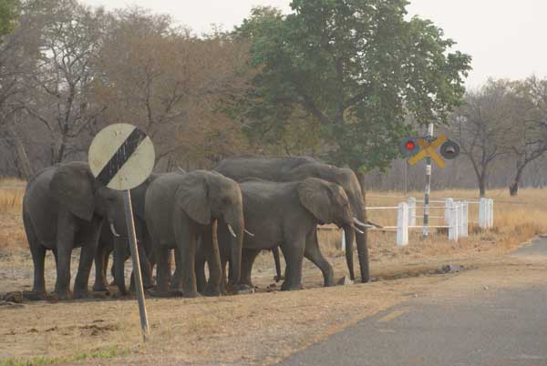 Elephants outside Hwange National Park, Zimbabwe (photo by Alison Nicholls)