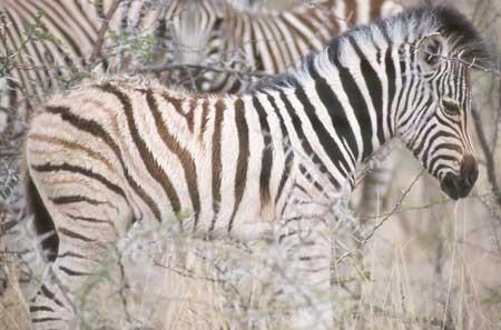Zebra Foal by Nigel Nicholls