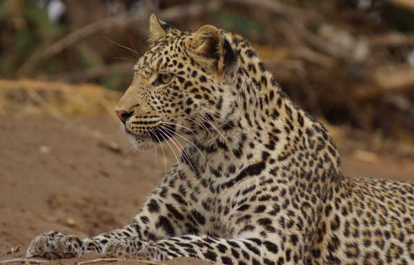 Leopard photo by Nigel Nicholls