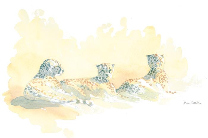 Cheetah Trio Field Sketch © Alison Nicholls